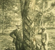 Henry Ridley Para Rubber Tree