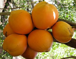Yellow Malaysian Coconut Tree
