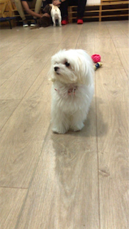 Maltese Dog in Singapore